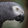 Milo the African Grey Parrot
